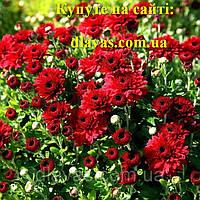 Хрізантема куляста  ТЕМНО-ЧЕРВОНА (Andaz Ред), фото 1