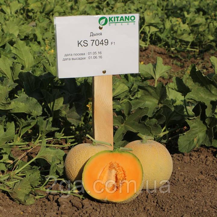 КС 7049 F1 / KS 7049 F1 - Дыня, Kitano Seeds. 1000 семян