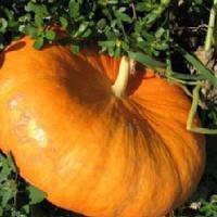 Руж виф де'Тамп семена тыквы столовой Tezier 25 г