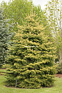 Abies concolor Winter Gold
