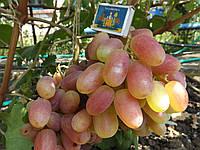 Саженец винограда Виктор  (очень ранний).