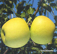 Саженец яблони Богемия Голд (Чехия)