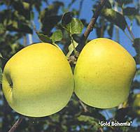 Саженцы яблони Богемия Голд (Чехия)