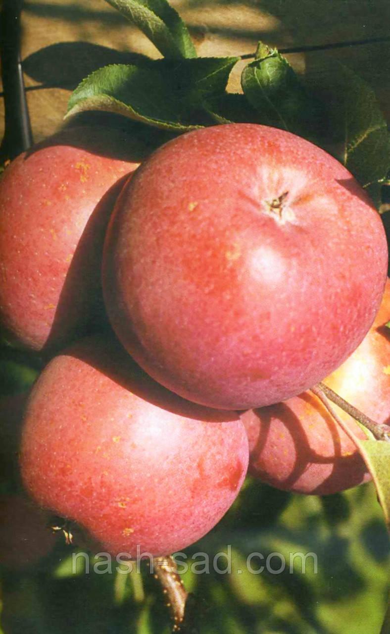 Саженцы яблони Бени Шогун (Япония)