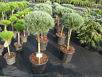 Растения оптом, поставщик садовых декоративных растений, Киев