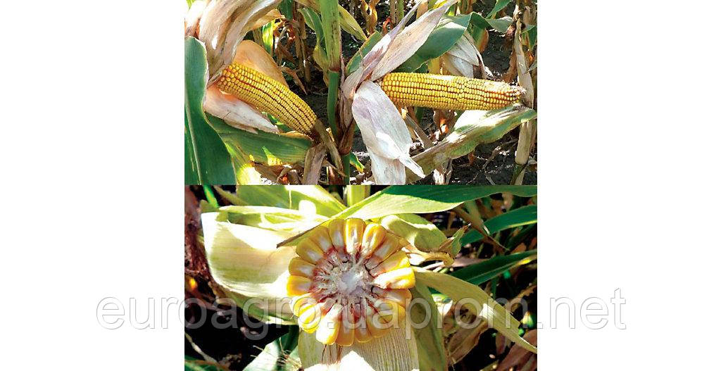 Семена кукурузы ДС 1304С (DS 1304С) от  Brevant