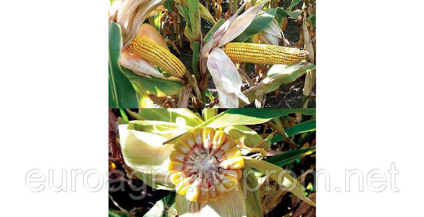 Семена кукурузы ДС 1304С (DS 1304С) от  Brevant, фото 2