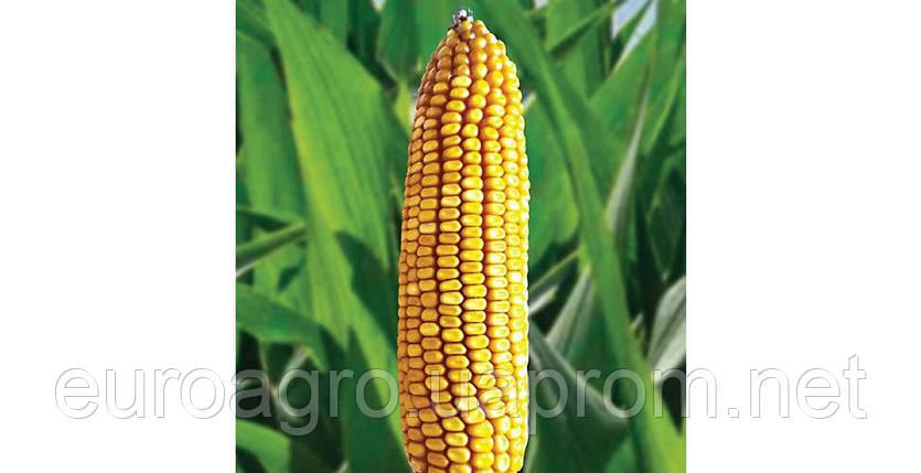 Семена кукурузы Р8409 от Brevant, фото 2