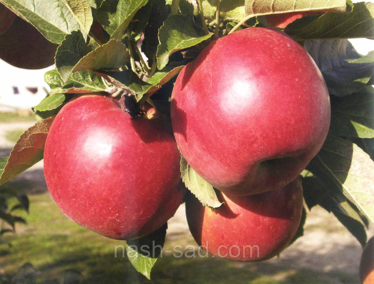Саженцы яблони Найдаред (США)