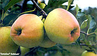 Саженцы яблони Тентейшн (Франция)