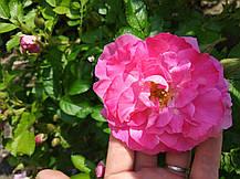 Роза Фокси Павемент (Foxy Pavement) Шраб, фото 2