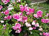 Роза Фокси Павемент (Foxy Pavement) Шраб, фото 3