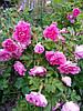 Роза Фокси Павемент (Foxy Pavement) Шраб, фото 4