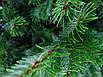 Ялинка Nordmanniana 1.50 - 1.75м, фото 9