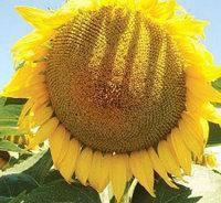 Семена подсолнечника П63ЛЛ124 (P63LL124) от Brevant