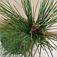 Pinus densiflora Pendula, фото 3
