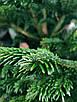 Ялинка Nordmanniana 1.50 - 1.75м, фото 6