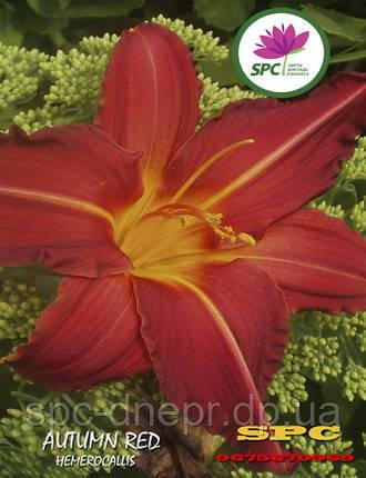 Лилейник  Autumn Red, фото 2