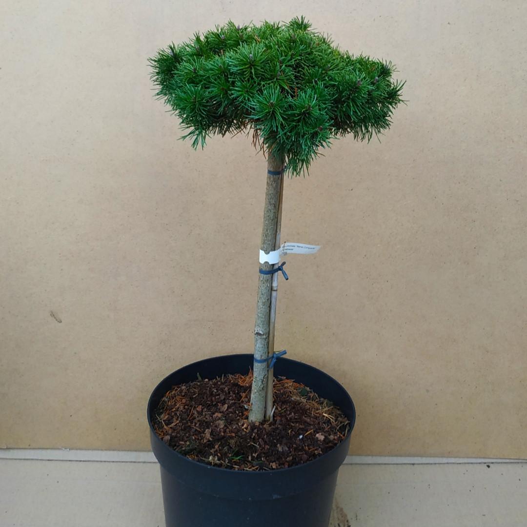 Pinus uncinata Nana Compacta