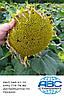 Семена подсолнечника Кардинал для Юга Украины. Засухоустойчивый гибрид Кардинал выдерживает шесть рас заразихи