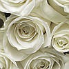 """Фотообои 368х254мм, KOMAR """"A La Rose"""" (8-314)"""