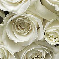 """Фотообои 368х254мм, KOMAR """"A La Rose"""" (8-314), фото 1"""
