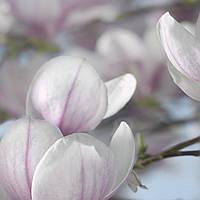 "Фотообои 368x254см, KOMAR ""Magnolia"" (8-738)"