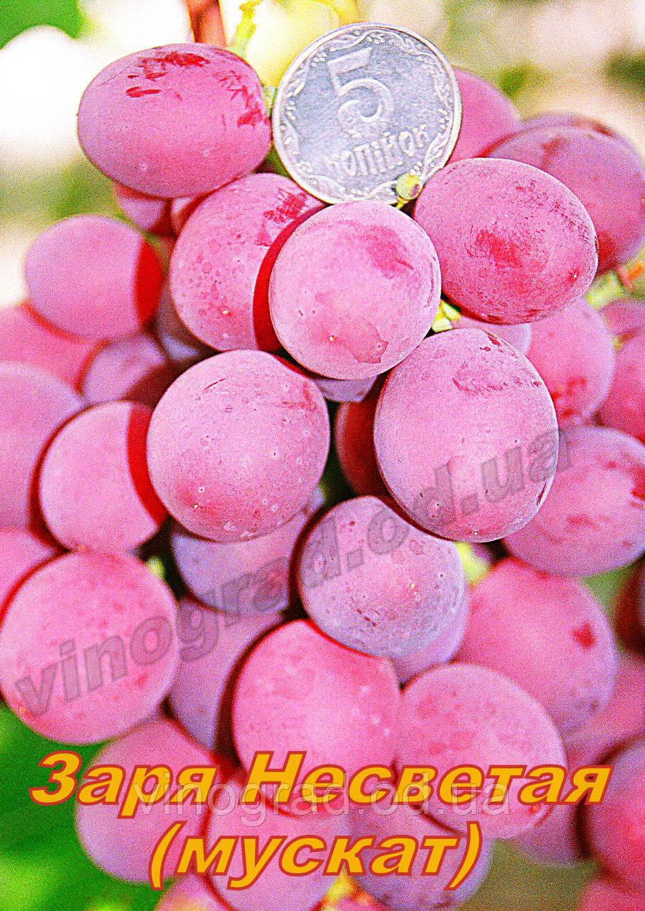 Сорт винограду раннього терміну дозрівання Зоря Несветая