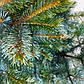 Picea Bicolor, фото 2