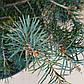 Picea Breweriana, фото 2
