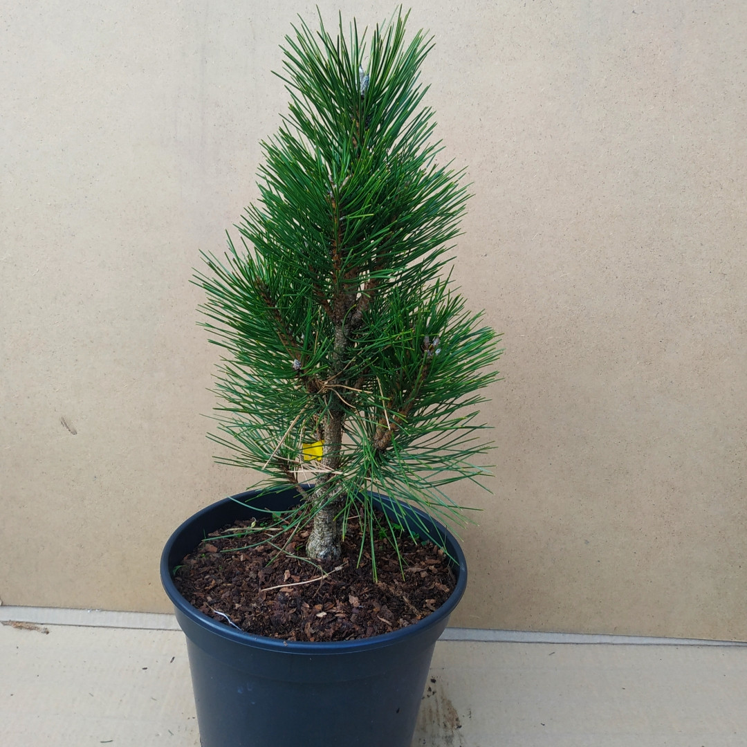 Pinus nigra Kleiner Turm