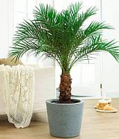 Пальма Королевская 5 семян ТМ Яскрава