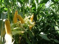 Семена кукурузы МАС 28.А ФАО 270