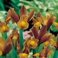 "Ірис голандський (5 шт) ""Бронз Квін"" Iris hollandica Bronze Queen 8/9 Нідерланди"