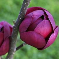 Магнолия Чёрный тюльпан (Black Tulip)