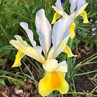 Ірис голандський (5 шт) Аполло Iris hollandica Apollo 8/9 Нідерланди