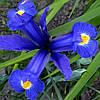 Ірис голандський (5 шт) Блу Меджик Iris hollandica Blue Magic розмір  8/9 Нідерланди
