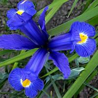Ірис голандський (5 шт) Блу Меджик Iris hollandica Blue Magic розмір  8/9 Нідерланди, фото 1