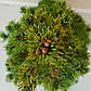 Picea glauca Daisy White, фото 2