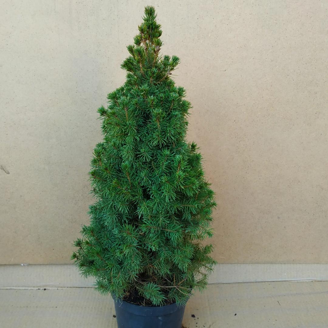 Picea glauca Daisy White