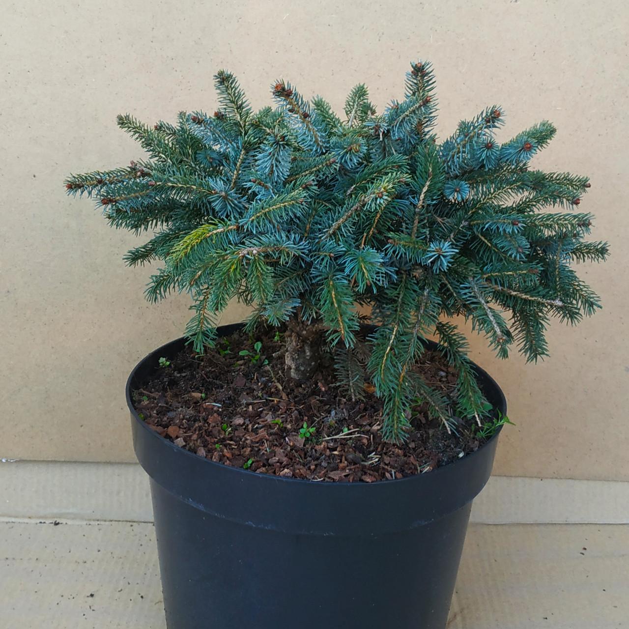 Picea mariorika Machala
