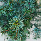 Picea omorika Freya, фото 2