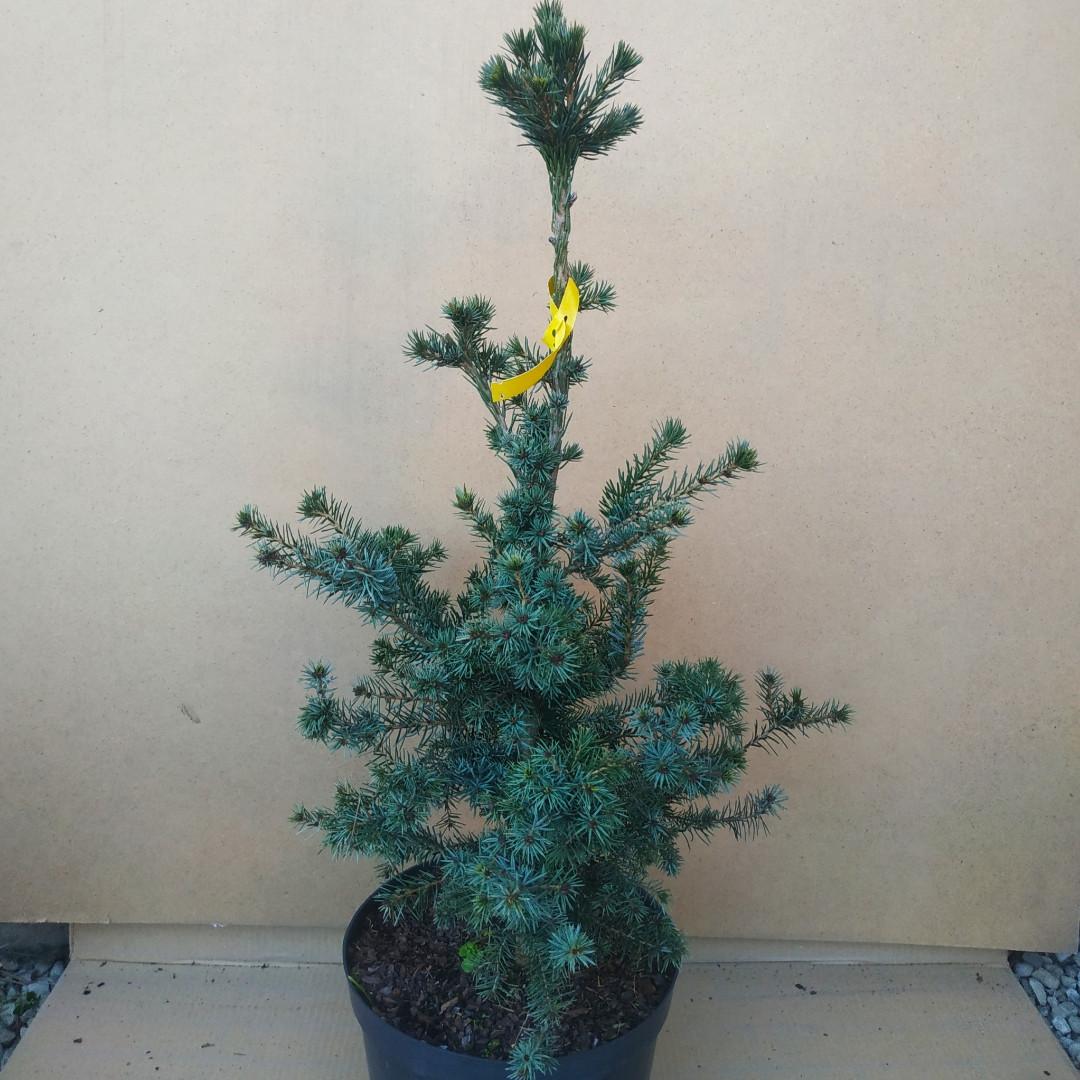 Picea omorika Freya