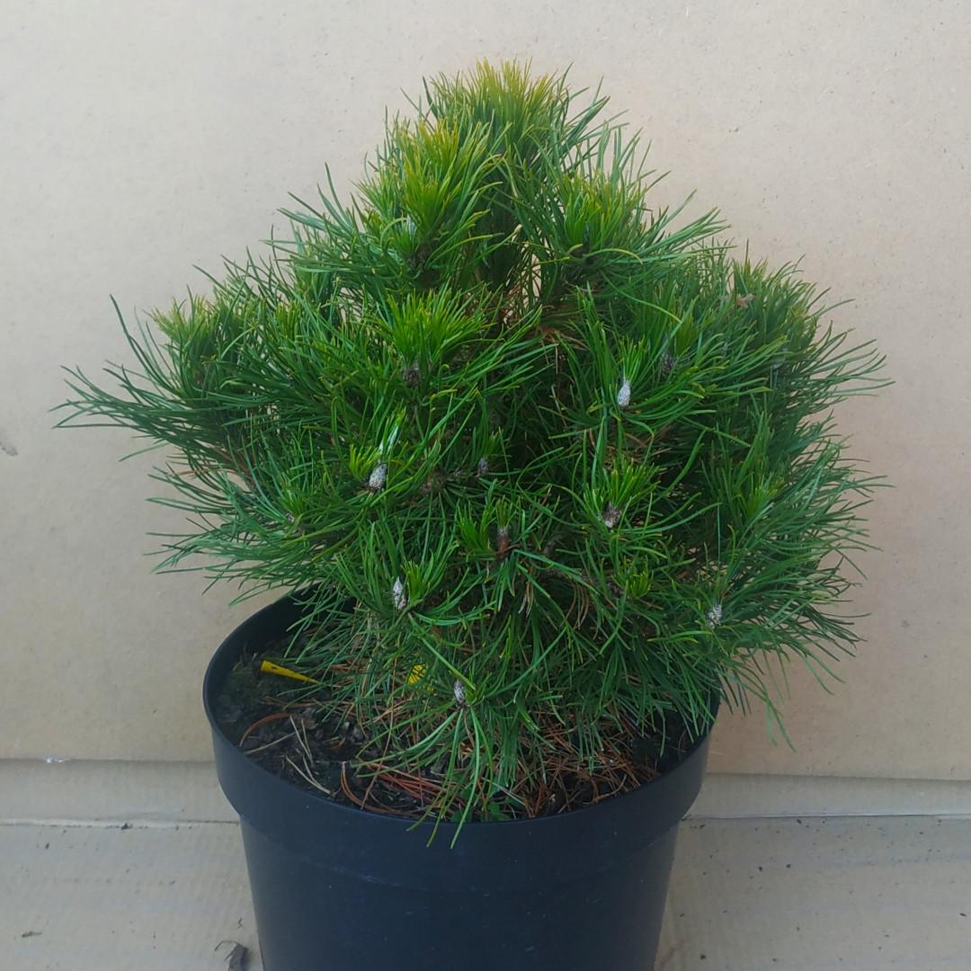 Pinus mugo Hexe