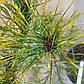 Pinus densiflora Golden Ghost, фото 4