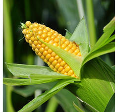 Кукурудза цукрова Бондюэлька F1 (ГСС 3071) 50 г Syngenta 2189