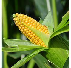 Семена Кукуруза сахарная Бондюэлька F1 (ГСС 3071) 50 г Syngenta 2189