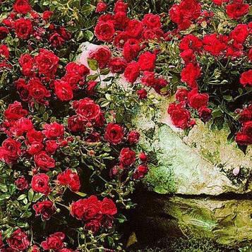 Роза Red Carpet