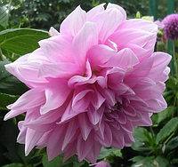 Георгина декоративная Lavender Perfection(Лавандовое совершенство)