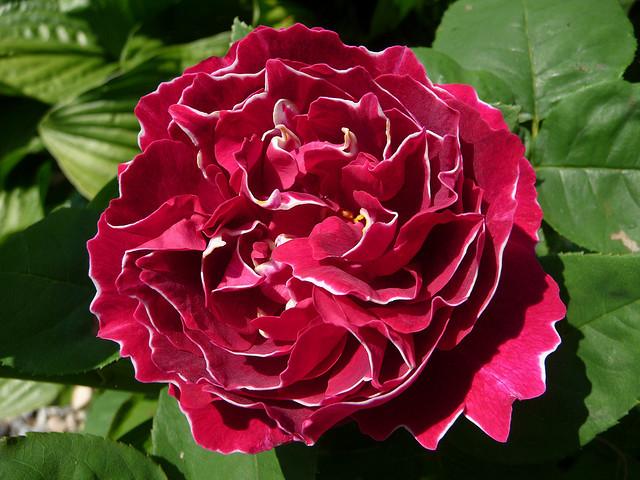 Роза  Baron Girod de L'Ainv